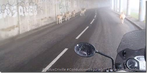 PoluxCriville-LosViajesDeBrujilda.com-rutas-moto-animales-conduccion-segura_2
